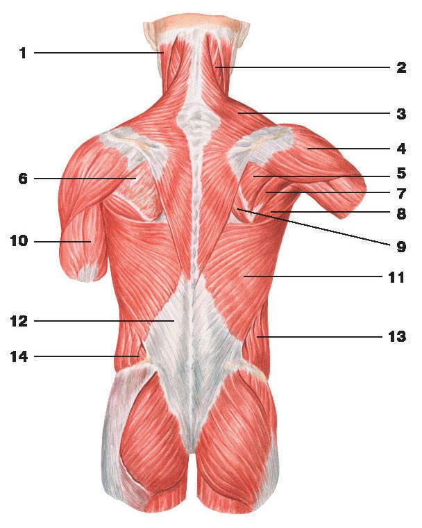 Back musculature anatomy 8010679 - follow4more.info