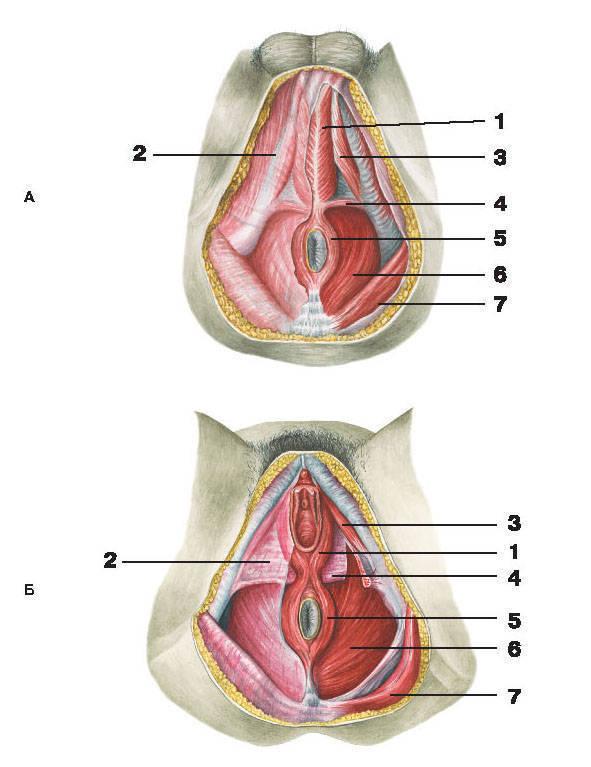 Большие и малые половые губы строение