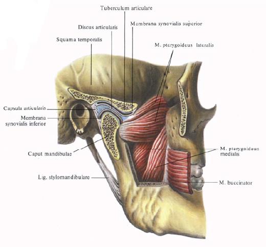 Морфология челюстной сустав самый дешевый в мире протез коленного сустава