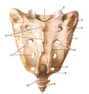 Крестец (os sacrum). Вид сзади (дорсальная поверхность). 1-крестцовый канал (верхнее отверстие); 2-верхний суставной отросток; 3-крестцовая бугристость; 4-ушковидная поверхность; 5-латеральный крестцовый гребень; 6-промежуточный крестцовый гребень; 7-крестцовая щель (нижнее отверстие крестцового канала); 8-крестцовый рог; 9-копчик (копчиковые позвонки); 10-копчиковый рог; 11-дорсальные (задние) крестцовые отверстия; 12-срединный крестцовый гребень Os sacrum. Вид сзади (дорсальная поверхность). 1-canalis sacralis; 2-processus articularis superior; 3-tuberositas sacralis; 4-facies auricularis; 5-crista sacralis lateralis; 6-crista sacralis intermedia; 7-hiatus sacralis (foramen canalis sacralis inferius); 8-cornu sacrale; 9-os coccygis (vertebrae coccygeae); 10-cornu coc-cygeum; 11 -foramina sacralia posteriora; 12-crista sacralis mediana.